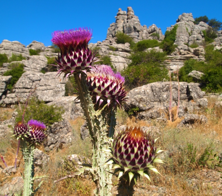 Scottish thistle at El Torcal Nature Reserve