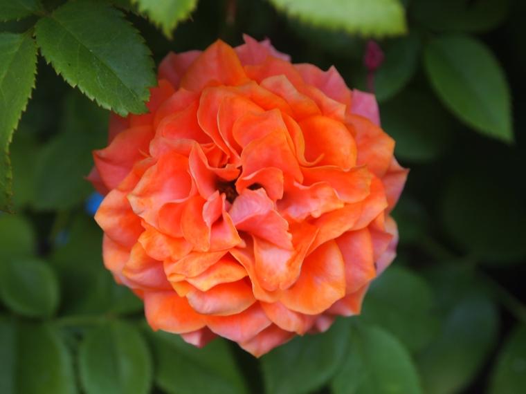 coral flower