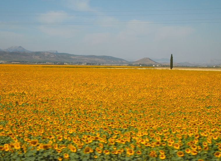 a blur of sunflowers seen from the van on the way to Antequera