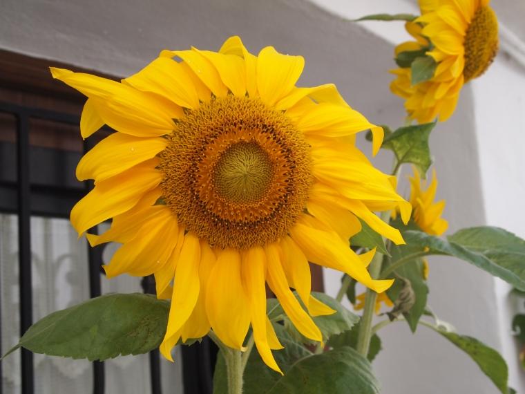 sunflower at an entryway in Frigiliana
