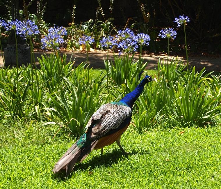 wandering peacocks in Jardim Público