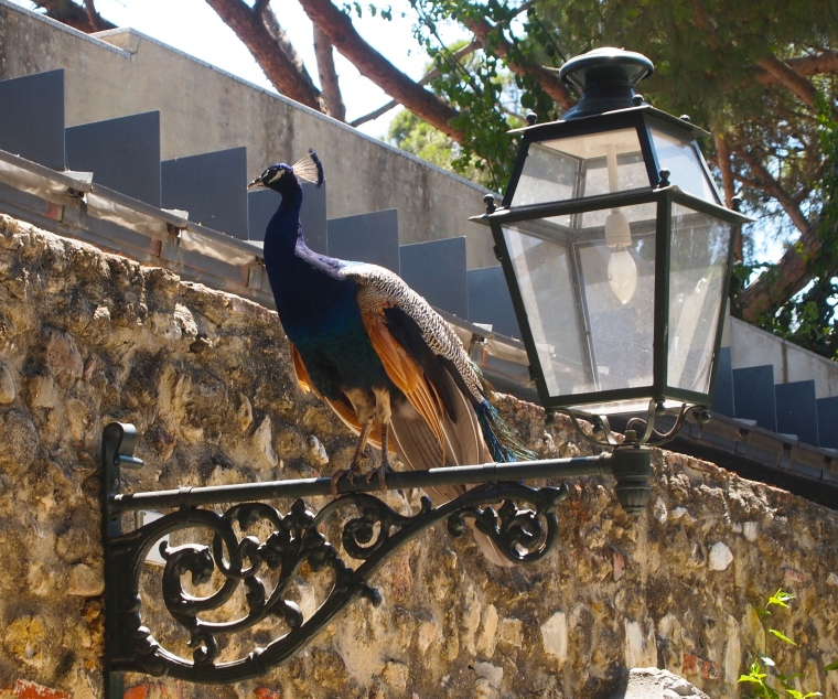 one of many happy peacocks at Castelo de São Jorge
