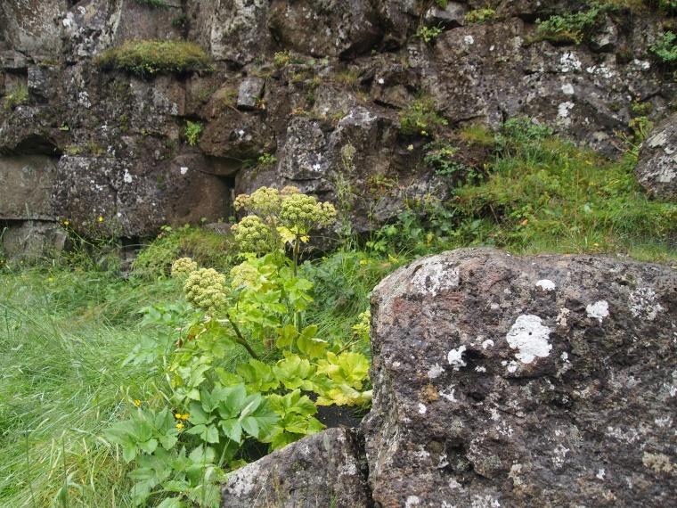 Icelandic rocks and flora