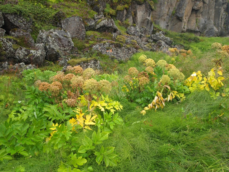 flora and rocks at Þingvellir National Park