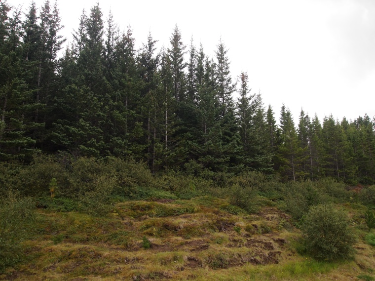 The Icelandic Forest Service - a rare spot with trees