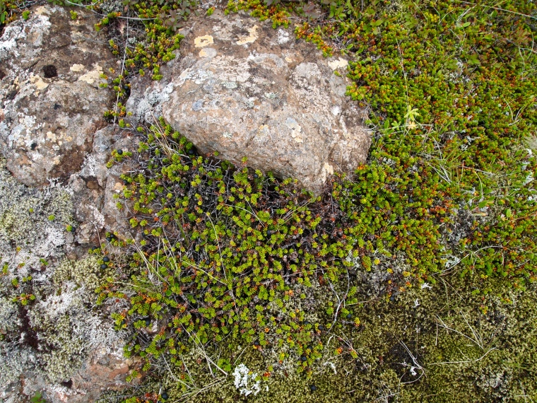 some of Iceland's flora