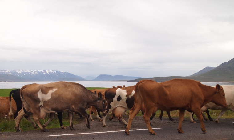 cattle drive near Dalvík