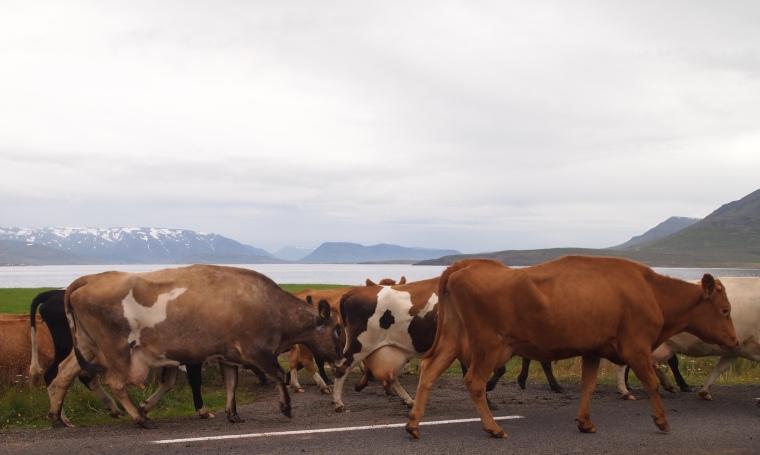 cattle drive near Dalvík