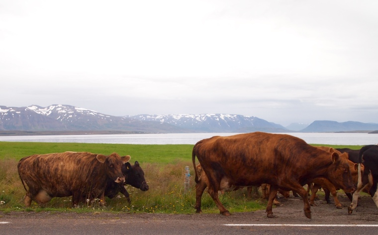 cattle near Dalvík