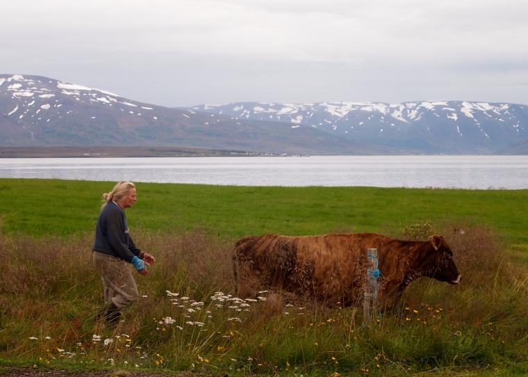 an Icelandic woman drives the cattle near Dalvík