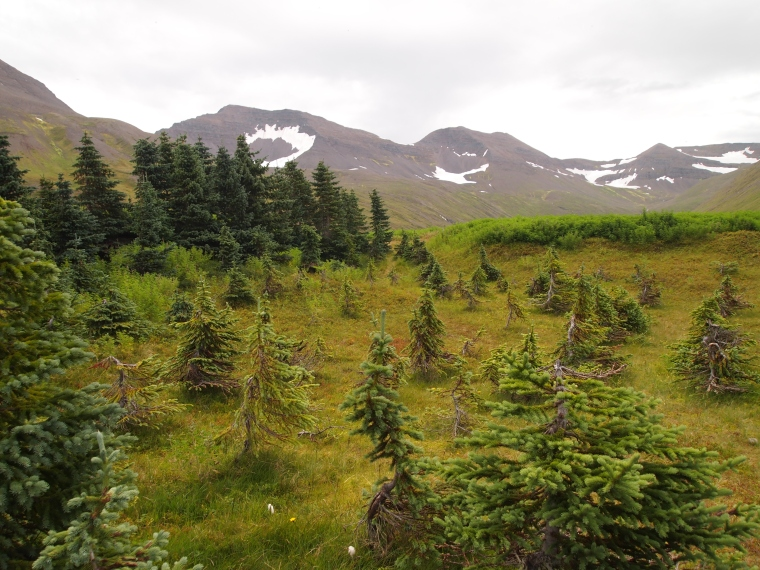 Trees - a rare sight in Iceland