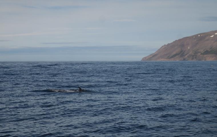 glimpses of whales in Eyjafjörður