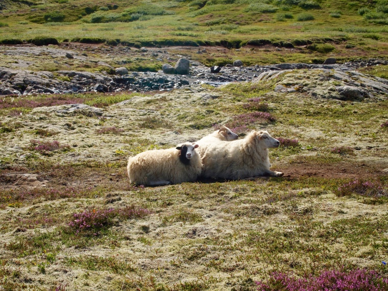Icelandic sheep at rest
