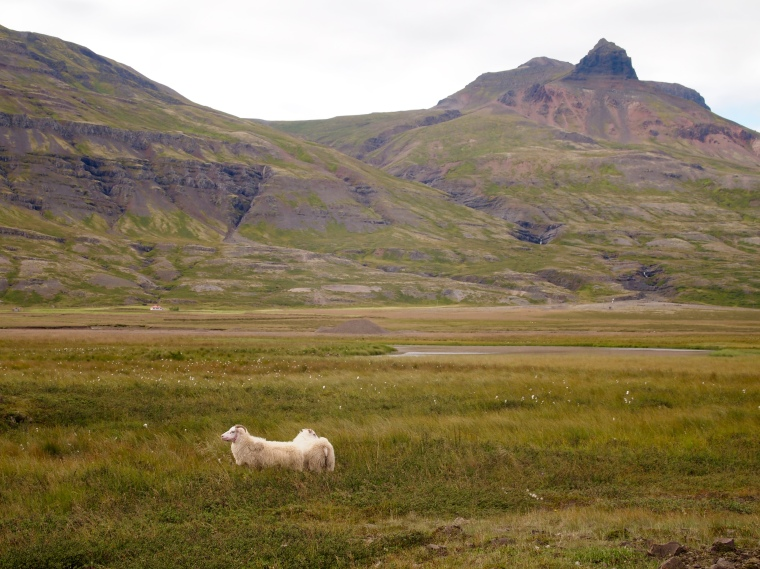 sheep in Breiðdalur