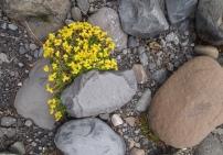 Fláajökull flora