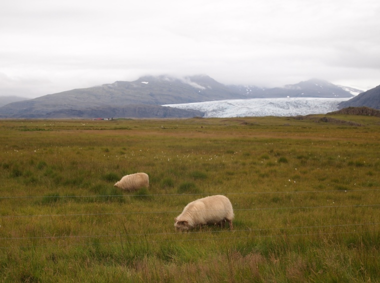 Icelandic sheep at Fláajökull