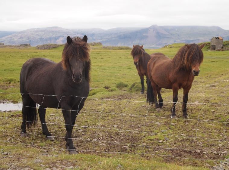 Icelandic horses near